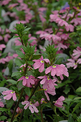 Pink Wonder Fan Flower (Scaevola aemula 'Pink Wonder') at Dutch Growers Garden Centre