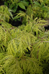 Lemony Lace® Elder (Sambucus racemosa 'SMNSRD4') at Dutch Growers Garden Centre