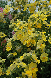 Sunsatia Lemon Nemesia (Nemesia 'Sunsatia Lemon') at Dutch Growers Garden Centre