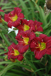 Pardon Me Daylily (Hemerocallis 'Pardon Me') at Dutch Growers Garden Centre