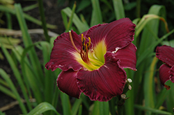 Bela Lugosi Daylily (Hemerocallis 'Bela Lugosi') at Dutch Growers Garden Centre