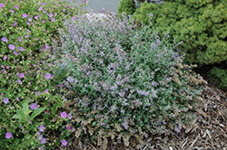 Cat's Meow Catmint (Nepeta x faassenii 'Cat's Meow') at Dutch Growers Garden Centre