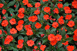 SunPatiens® Compact Orange New Guinea Impatiens (Impatiens 'SunPatiens Compact Orange') at Dutch Growers Garden Centre