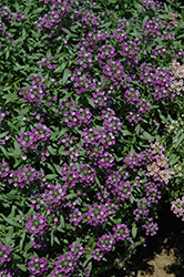 Dark Knight Alyssum (Lobularia 'Dark Knight') at Dutch Growers Garden Centre