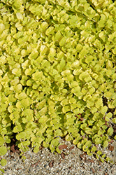 Goldilocks Creeping Jenny (Lysimachia nummularia 'Goldilocks') at Dutch Growers Garden Centre