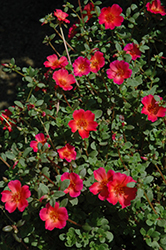 Mojave Red Portulaca (Portulaca grandiflora 'Mojave Red') at Dutch Growers Garden Centre