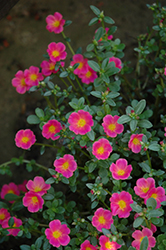 Mojave Pink Portulaca (Portulaca grandiflora 'Mojave Pink') at Dutch Growers Garden Centre