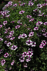 Supertunia® Violet Star Charm Petunia (Petunia 'Supertunia Violet Star Charm') at Dutch Growers Garden Centre