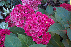 Bloomstruck® Hydrangea (Hydrangea macrophylla 'PIIHM-II') at Dutch Growers Garden Centre