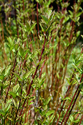 Arctic Fire® Red Twig Dogwood (Cornus sericea 'Farrow') at Dutch Growers Garden Centre