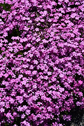 Emerald Pink Moss Phlox (Phlox subulata 'Emerald Pink') at Dutch Growers Garden Centre