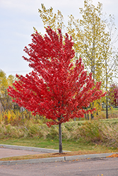 Autumn Spire Red Maple (Acer rubrum 'Autumn Spire') at Dutch Growers Garden Centre