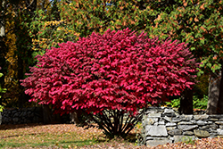 Winged Burning Bush (Euonymus alatus) at Dutch Growers Garden Centre