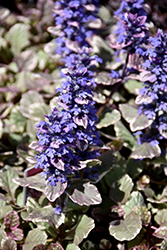 Burgundy Glow Bugleweed (Ajuga reptans 'Burgundy Glow') at Dutch Growers Garden Centre
