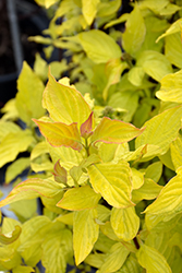Neon Burst™ Dogwood (Cornus alba 'ByBoughen') at Dutch Growers Garden Centre
