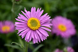 Happy End Alpine Aster (Aster alpinus 'Happy End') at Dutch Growers Garden Centre