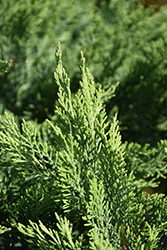 Tam Juniper (Juniperus sabina 'Tamariscifolia') at Dutch Growers Garden Centre