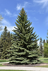 Blue Colorado Spruce (Picea pungens 'var. glauca') at Dutch Growers Garden Centre