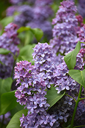 President Lincoln Lilac (Syringa vulgaris 'President Lincoln') at Dutch Growers Garden Centre