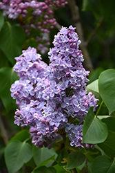 President Grevy Lilac (Syringa vulgaris 'President Grevy') at Dutch Growers Garden Centre
