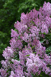 Donald Wyman Lilac (Syringa x prestoniae 'Donald Wyman') at Dutch Growers Garden Centre