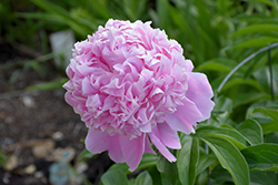 Sarah Bernhardt Peony (Paeonia 'Sarah Bernhardt') at Dutch Growers Garden Centre