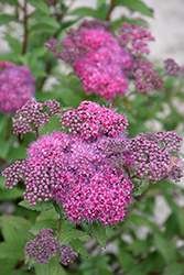 Superstar™ Spirea (Spiraea x bumalda 'Denistar') at Dutch Growers Garden Centre