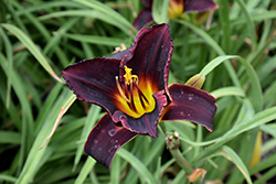 Salieri Daylily (Hemerocallis 'Salieri') at Dutch Growers Garden Centre