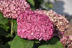 Invincibelle® Mini Mauvette Hydrangea (Hydrangea arborescens 'NCHA7') at Dutch Growers Garden Centre