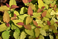 Double Play® Candy Corn® Spirea (Spiraea japonica 'NCSX1') at Dutch Growers Garden Centre