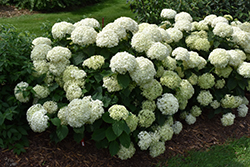 Invincibelle® Limetta Hydrangea (Hydrangea arborescens 'NCHA8') at Dutch Growers Garden Centre
