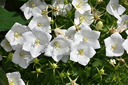 White Clips Bellflower (Campanula carpatica 'White Clips') at Dutch Growers Garden Centre