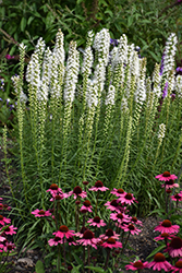 Floristan White Blazing Star (Liatris spicata 'Floristan White') at Dutch Growers Garden Centre