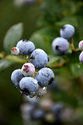 Polaris Blueberry (Vaccinium 'Polaris') at Dutch Growers Garden Centre