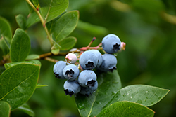 Northcountry Blueberry (Vaccinium 'Northcountry') at Dutch Growers Garden Centre