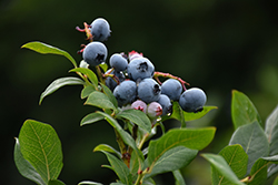 Northland Blueberry (Vaccinium corymbosum 'Northland') at Dutch Growers Garden Centre