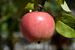 Prairie Magic Apple (Malus 'Prairie Magic') at Dutch Growers Garden Centre