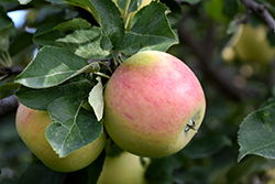 Goodland Apple (Malus 'Goodland') at Dutch Growers Garden Centre