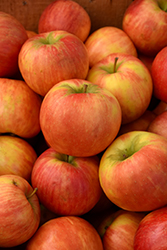 Honeycrisp Apple (Malus 'Honeycrisp') at Dutch Growers Garden Centre