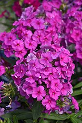Purple Flame Garden Phlox (Phlox paniculata 'Purple Flame') at Dutch Growers Garden Centre