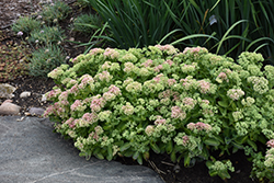 Autumn Delight Stonecrop (Sedum 'Autumn Delight') at Dutch Growers Garden Centre